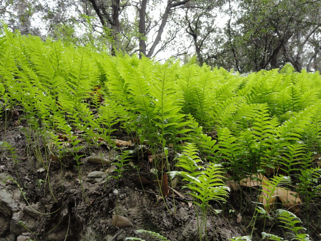 Polypody Fern Beds Are Prevalent Amp Lush In The Front